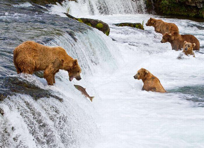 фильм про медведей гризли как они ловят лосось