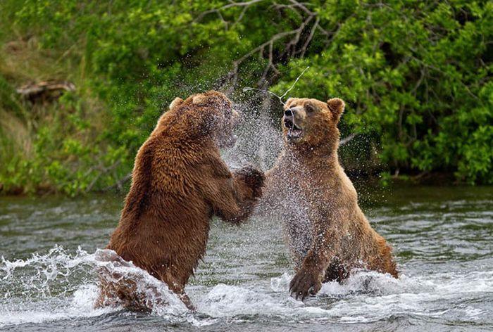 Рыбалка медведей на аляске 17 фото