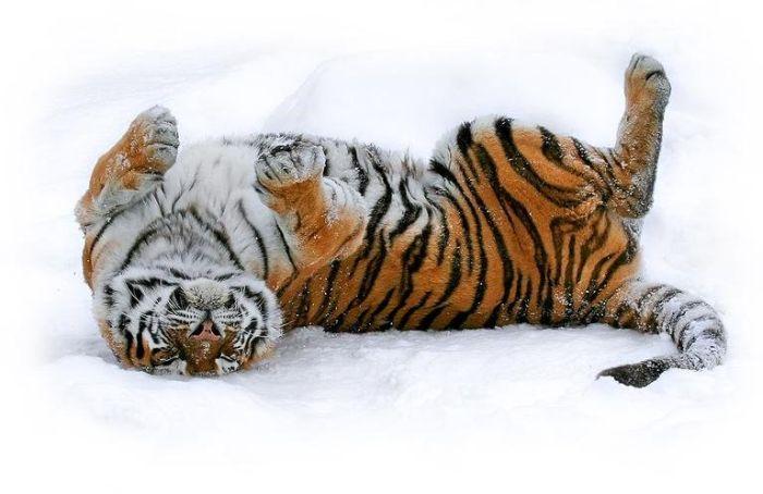 Большие кошки (99 фото)