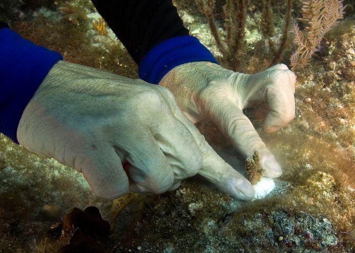Как выращивают кораллы (13 фото)