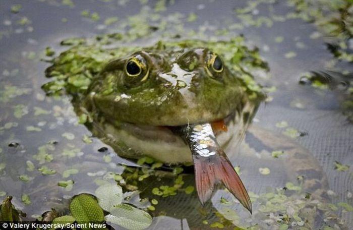 Удивительно, лягушка ест рыбу (3 фото)