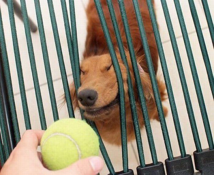 Собаки с теннисными мячиками (36 фото)