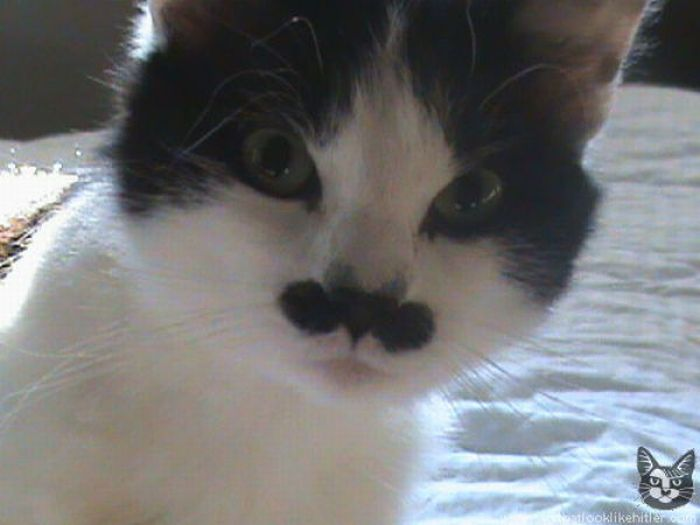 cats that look like hitler!