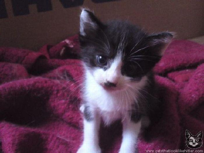Коты, которые похожи на Гитлера (39 фото)