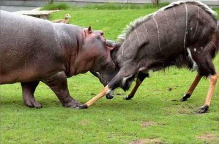 Бои животных (21 фото)