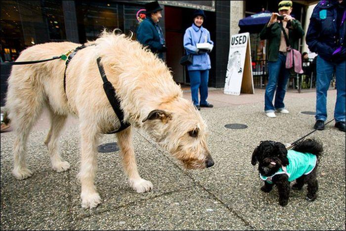 Огромные собаки (19 фото)