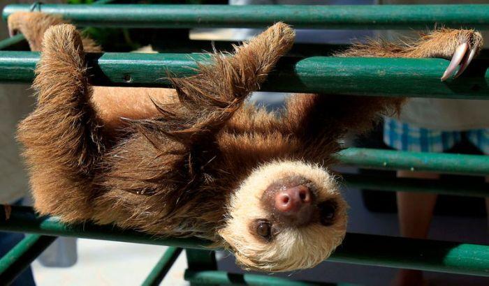 Маленький ленивец (7 фото)