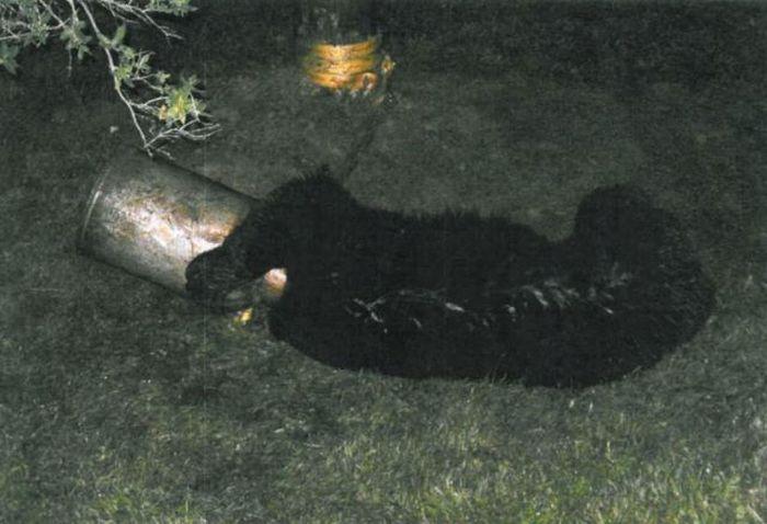 фото медведя с бидоном на голове выглядит как домик