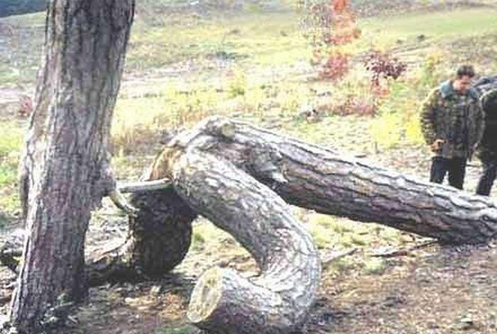 Порно-деревья (12 фото)