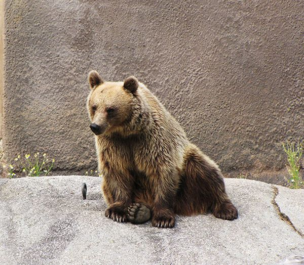 Медведь занимается йогой (7 фото)