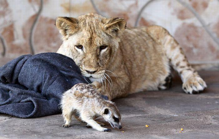 Симба и Тимон дружат в реальной жизни (7 фото)