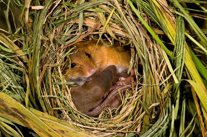 Жизнь полевых мышей (17 фото)