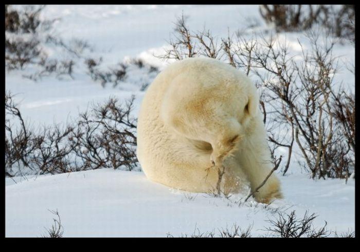 Белый медведь играет в снегу (4 фото)