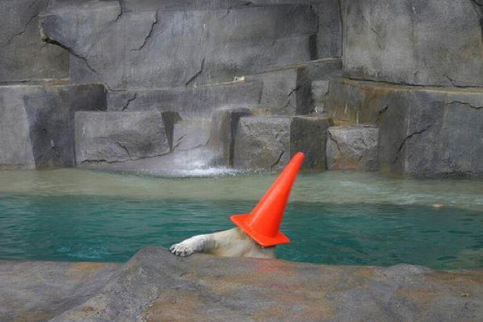 Белые медведи с конусами на голове (6 фото)