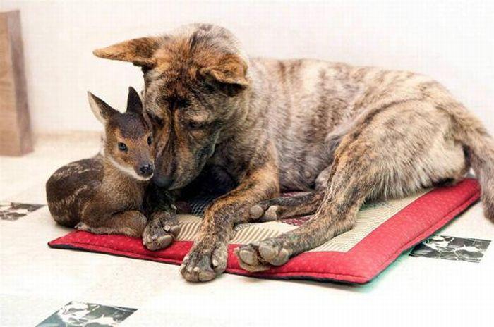 Когда животные усыновляют других (12 фото)