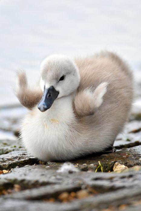Маленькие лебедята (20 фото)