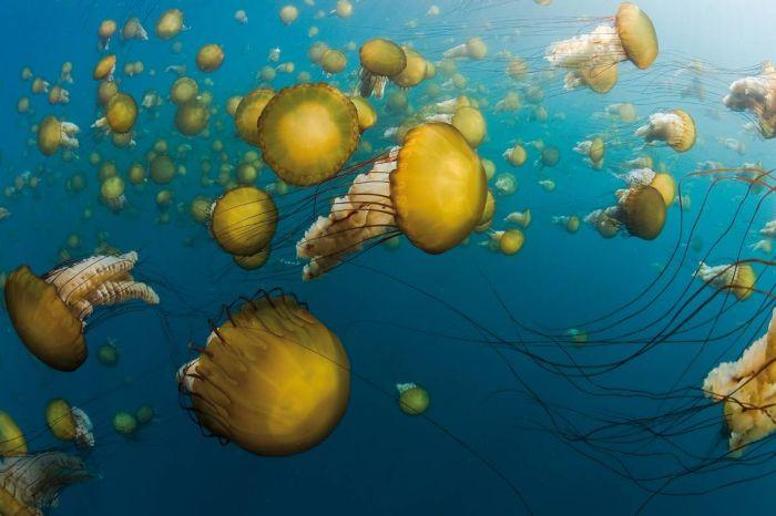 Медузы вида морская крапива (Chrysaora fuscescens) плавают в...