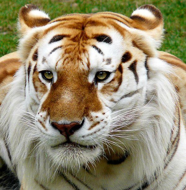 Необычный золотой тигр (8 фото)