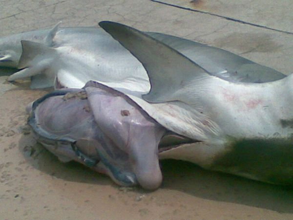 Внутри акулы нашли части человеческого тела (4 фото)