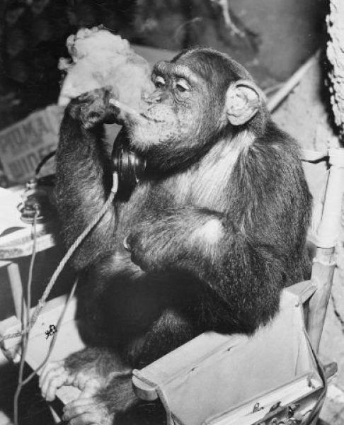Курящие обезьяны (25 фото)
