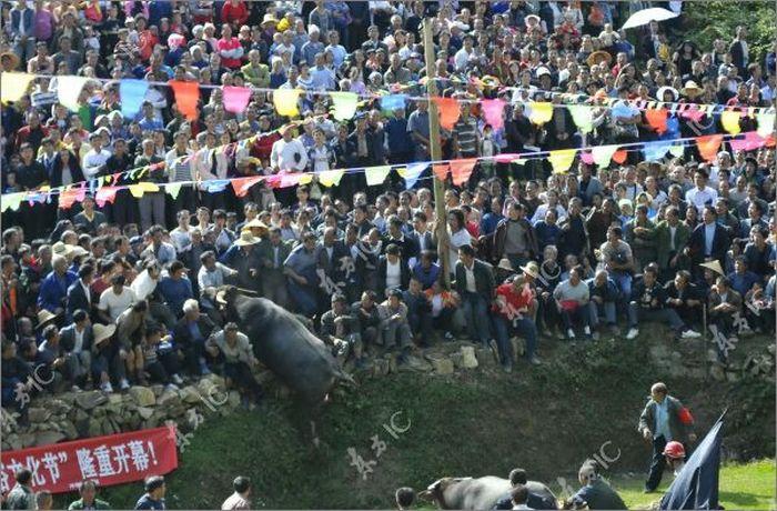 В Китае бык устроил панику во время бычьих боев (13 фото)
