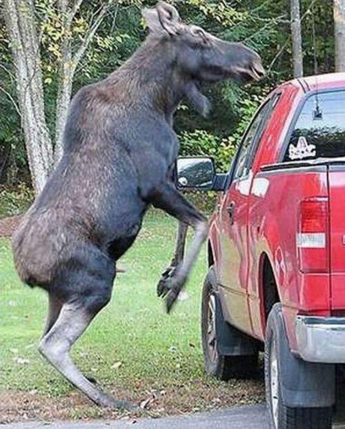 Животные, нападающие на машины (23 фото)