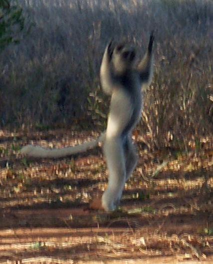 Танцующие лемуры (11 фото)