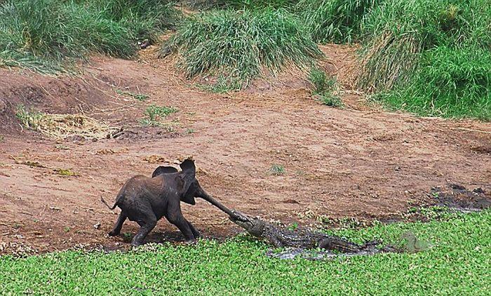 Слоненок и крокодил (5 фото)