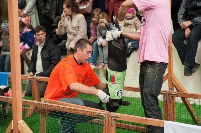 Олимпийские игры свиней (19 фото)