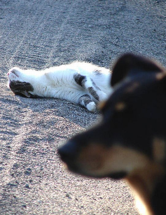 Коты и собаки фотобомбят друг друга (25 фото)