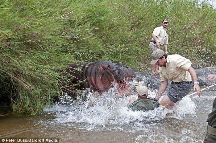 Голодный бегемот чуть не съел ветеринара (3 фото)