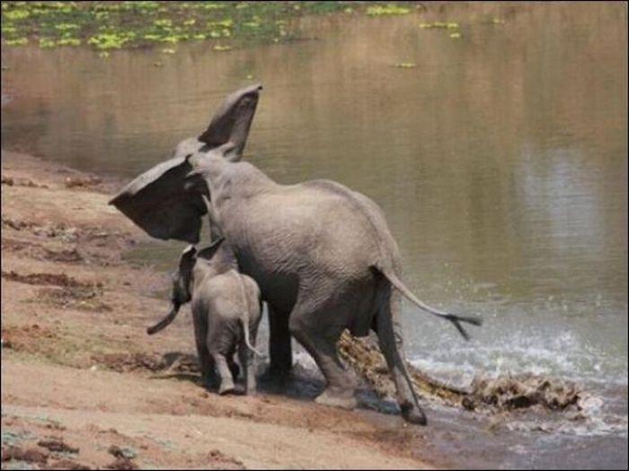 Крокодил напал на слониху (4 фото)
