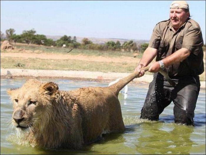 [image] Лев тоже кошка