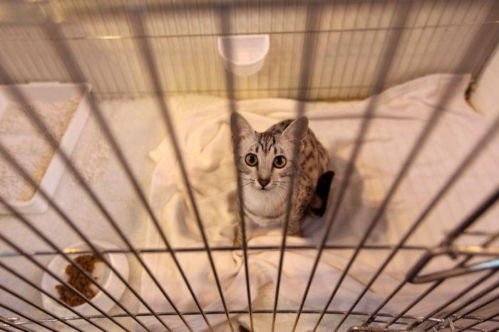 Выставка породистых котов в Англии (15 фото)