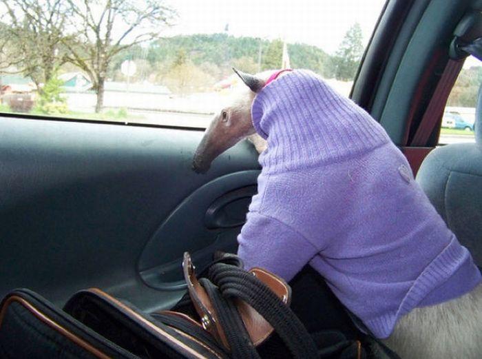 Муравьед Пуа ест все подряд, пьет тоже все и обожает ездить в машинах.