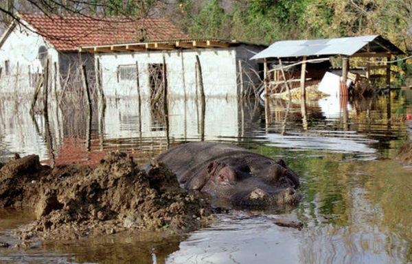 Побег бегемота (7 фото)