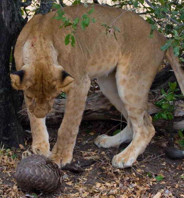 Лев попытался съесть панголина (4 фото)
