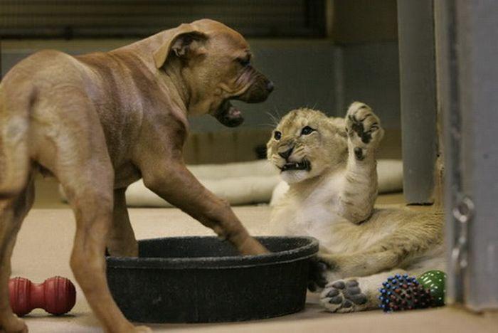 Львенок борется со щенком (11 фото)