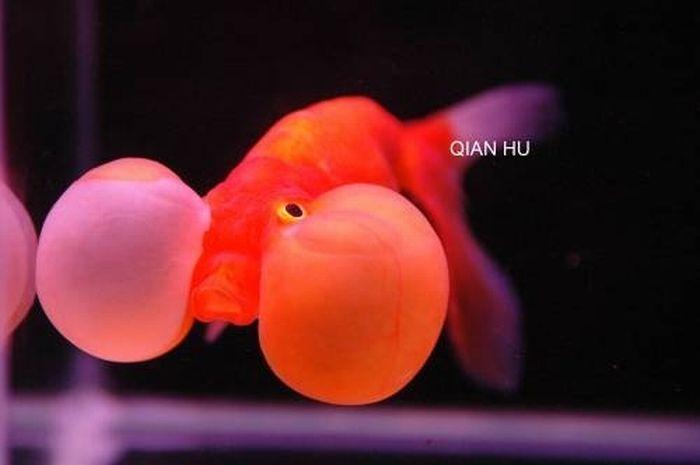Золотые рыбки с выпуклыми глазами (20 фото)