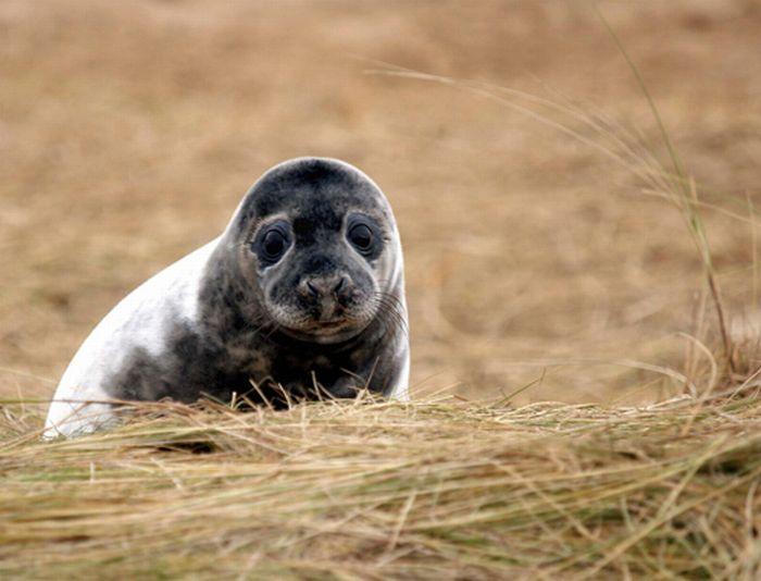 Прикольные маленькие тюлени (101 фото)