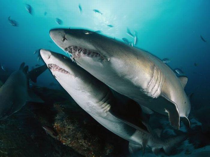 Акулы (11 фото)