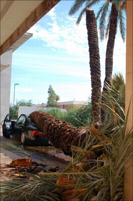 Пальма уничтожила автомобиль (4 фото)