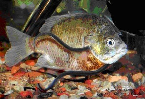 fotos de pez parasito en un huma