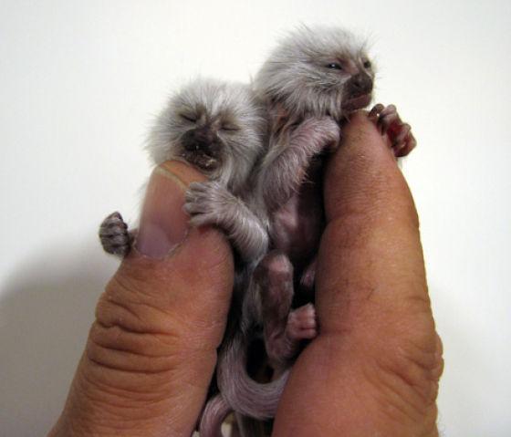 Маленькие обезьянки (16 фото)