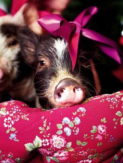 Мини-свинки и Рождество (11 фото)