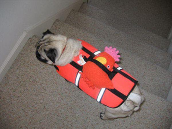 Мопсы в спасательных жилетах (21 фото)