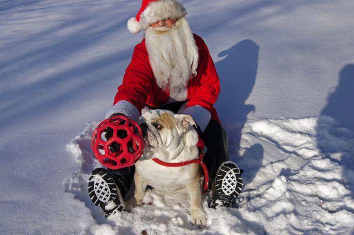 Деды Морозы с бульдогами (25 фото)