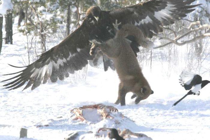 Битва за обед (4 фото)
