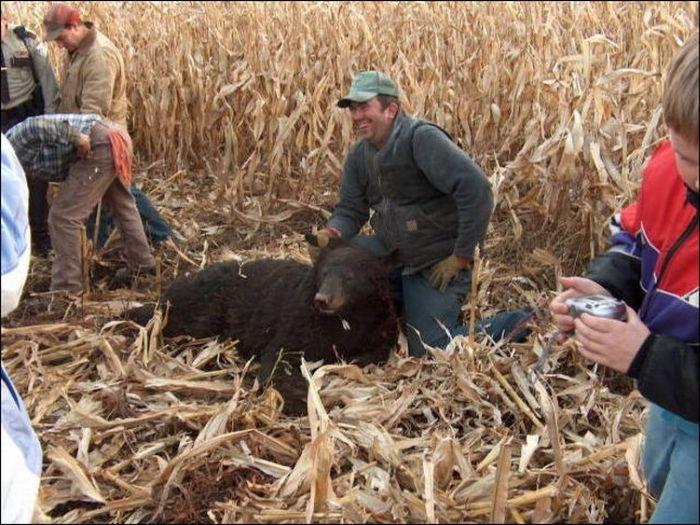 Комбайн убил медведя (3 фото)