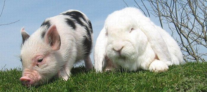 Позитив дня. Мини-свинка и кролик (4 фото)
